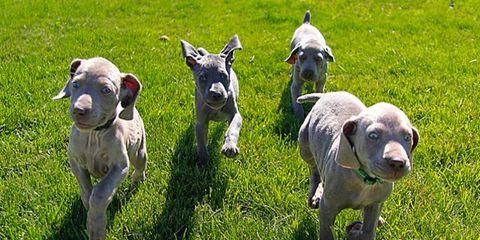 Grass, Green, Vertebrate, Terrestrial animal, Livestock, Snout, Grassland, Working animal, Grass family, Pasture,