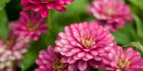 Petal, Flower, Green, Pink, Magenta, Annual plant, Pedicel, Daisy family, Macro photography, common zinnia,