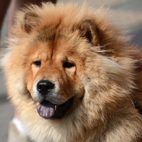 asian-dog-breeds_Chow Chow