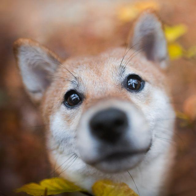 asian-dog-breeds_Shiba Inu
