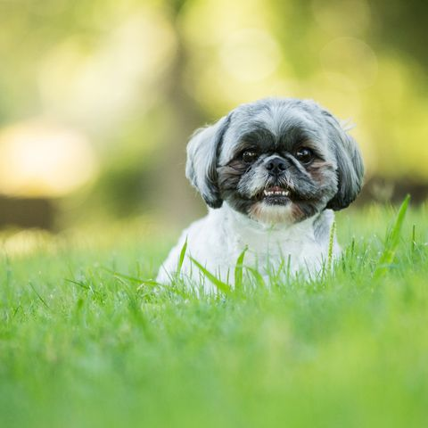 asian-dog-breeds_Shih Tzu