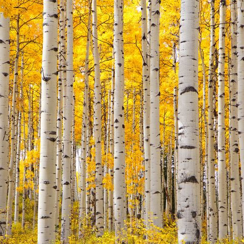 aspen trees in colorado on a beautiful autumn day focusing on the tree trunks with a focus on the look of eyes on the trunks