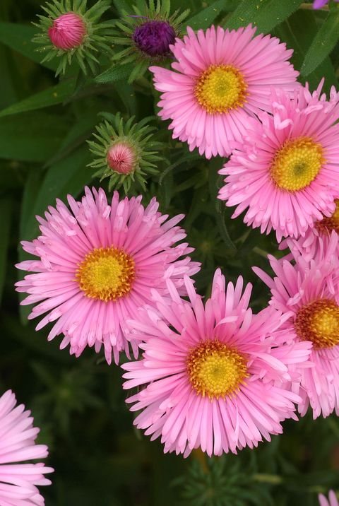 Flower Meanings Pink Asters