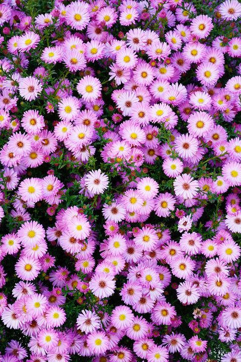 aster types of flowers