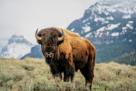 mountains, buffalo bison