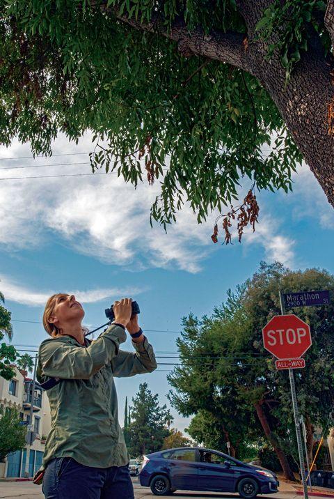 wildlife biologist courtney mccammon,  cooper's hawk nest, silver lake, los angeles
