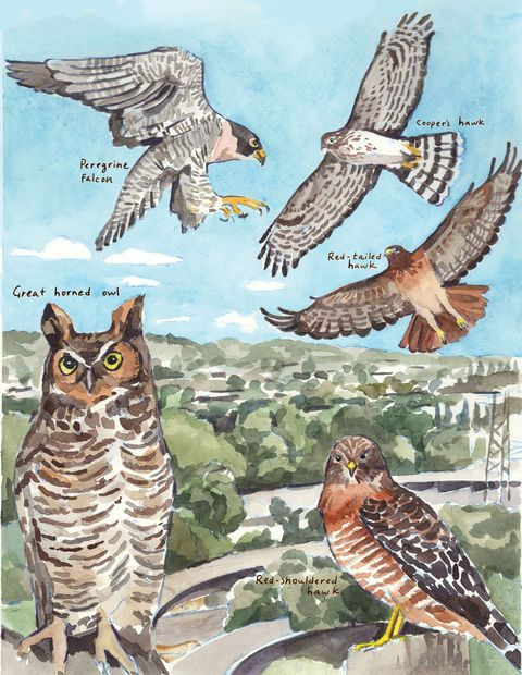 great horned owl, peregrine falcon, red tailed hawk, cooper's hawk, red shouldered hawk