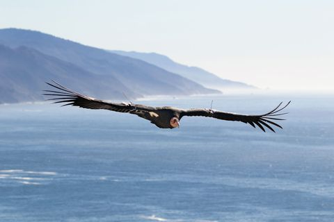 thanks to conservation efforts, california condors in captivity and in the wild today number more than 500—up from 27 in 1987