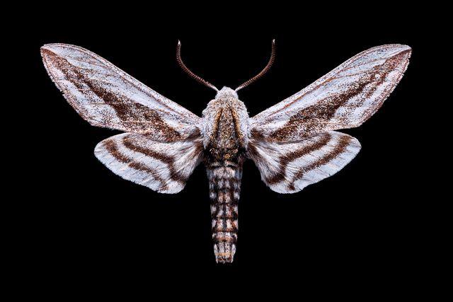 aether moth
