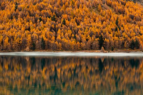 Autumn Coloured Pine trees with reflection in Lake