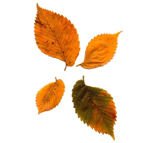 types of fall leaves