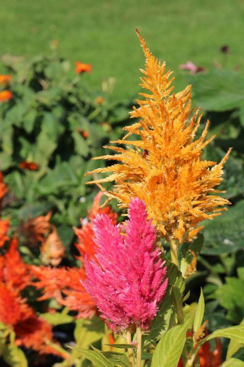 colourful nature autumn flames of celosia plant