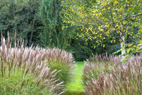 miscanthus commonly known as elephant grass or silver grass and a birch tree in an english garden
