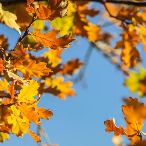 colours changing on the leaves of an oak tree in autumn