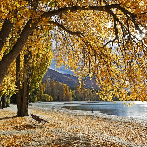 Autumn poplars beside Lake Wanaka, Otago, NZ