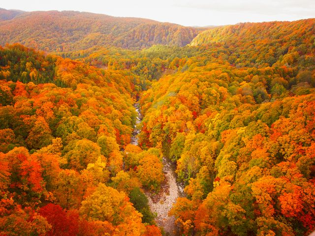 autumnal leaves of beech and maple, aerial view of national park in northern japan
