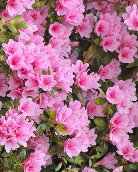 azaleas in bloom at crystal springs rhododendron garden portland, oregon