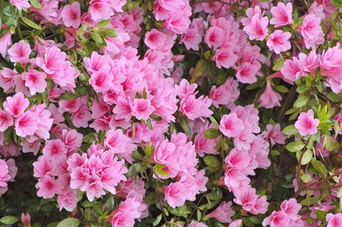 20 Best Flowering Shrubs Blooming Bushes For Your Garden