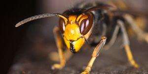 agressieve aziatische hoornaar honingbij