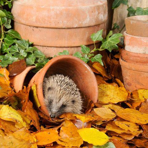 Hedgehog, Leaf, Adaptation, Hamster, Rodent, Erinaceidae, Autumn, Muroidea, Plant, Fawn,