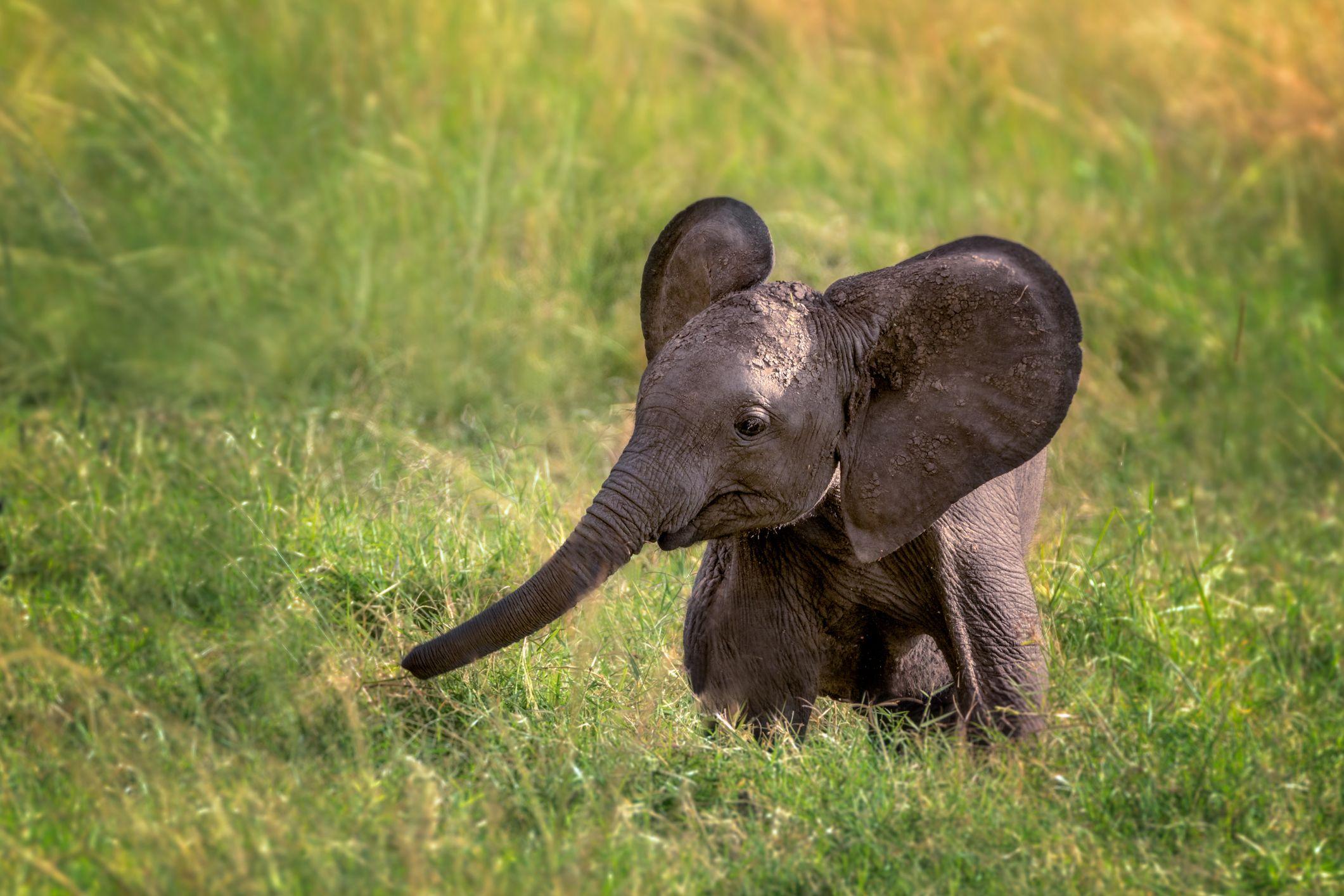Elephants are born blind.