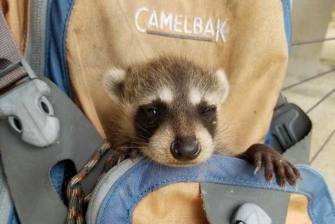 baby raccoon in backpack