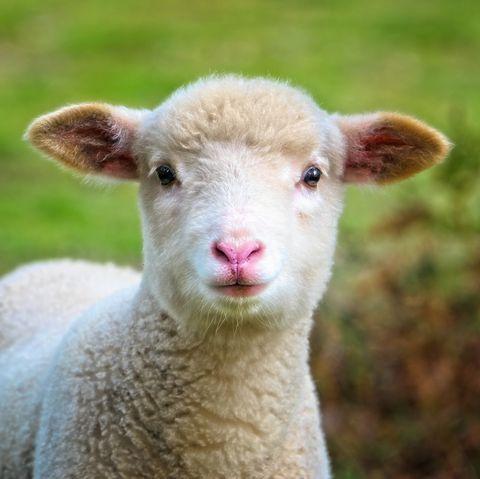 Baby Sheep close up