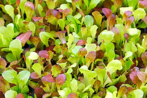 Background image of baby lettuce mixed greens