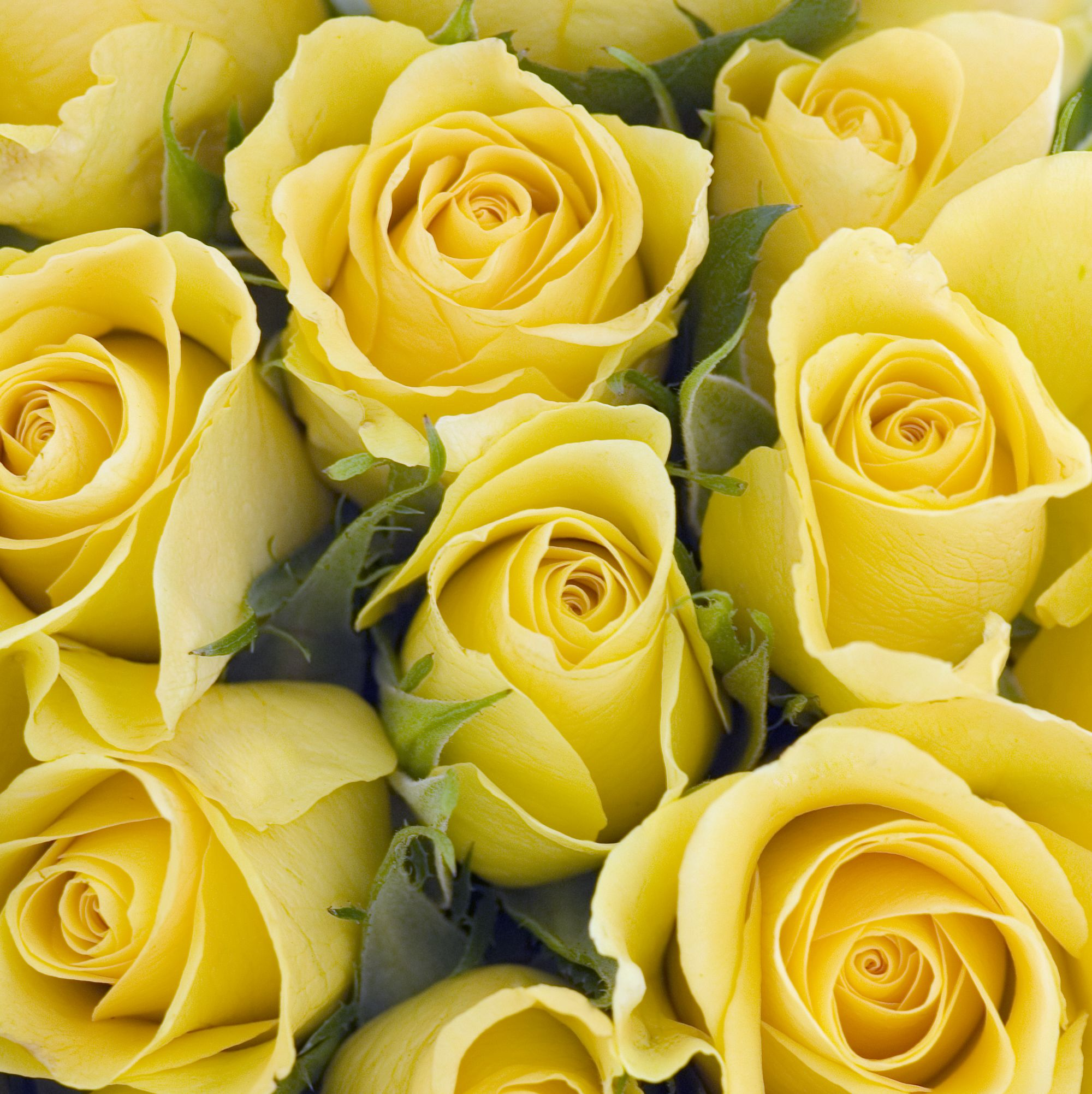 Yellow Roses - Rose Color Meanings