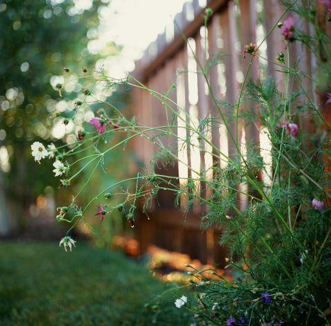 Backyard wildflowers, Montana