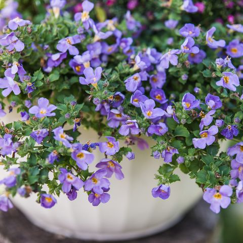 blue bacopa best hanging plants