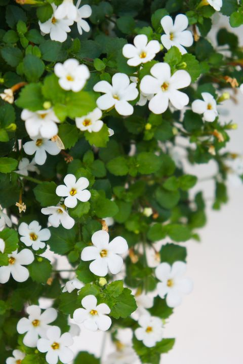 bacopa monnieri or brahmi white flowers with white royalty free image 1574016829.jpg?crop=0.444xw:1.00xh;0 - 15 Melhores FLORES BRANCAS para o seu JARDIM