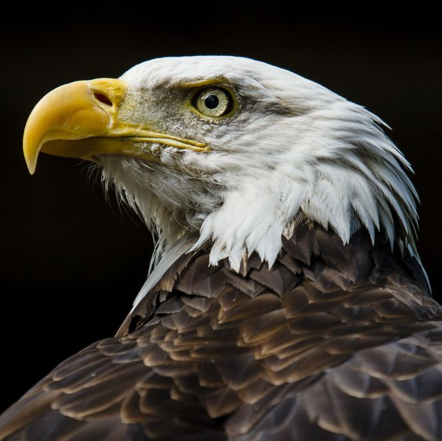 Bald Eagle Fierce Gaze