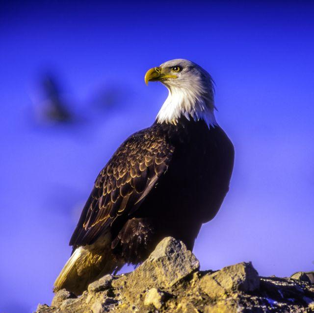 Bald Eagle on top of a rock, near Brackendale, British Columbia, Canada