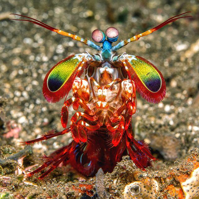 bali, harlequin mantis shrimp