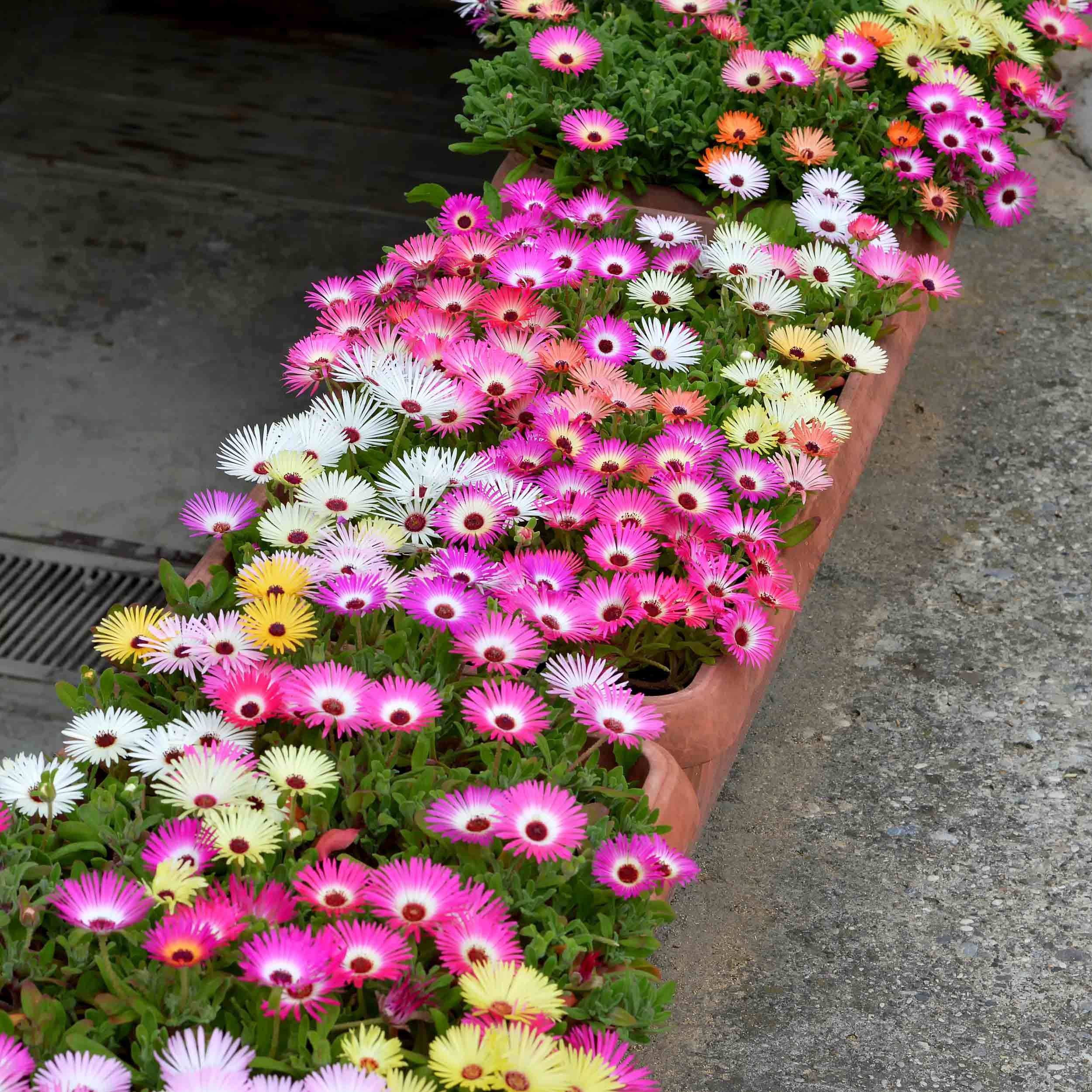 balkonplanten, klein balkon, tips, tuin, ijsbloemen