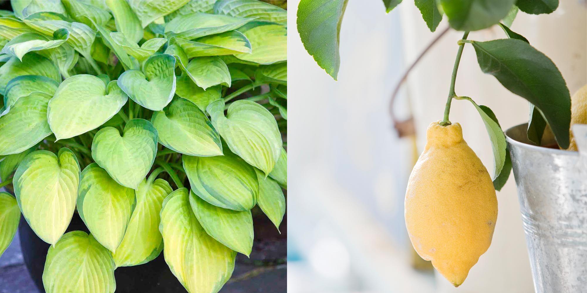 balkonplanten, klein, balkon, tuin, tips, fruitplanten, hosta