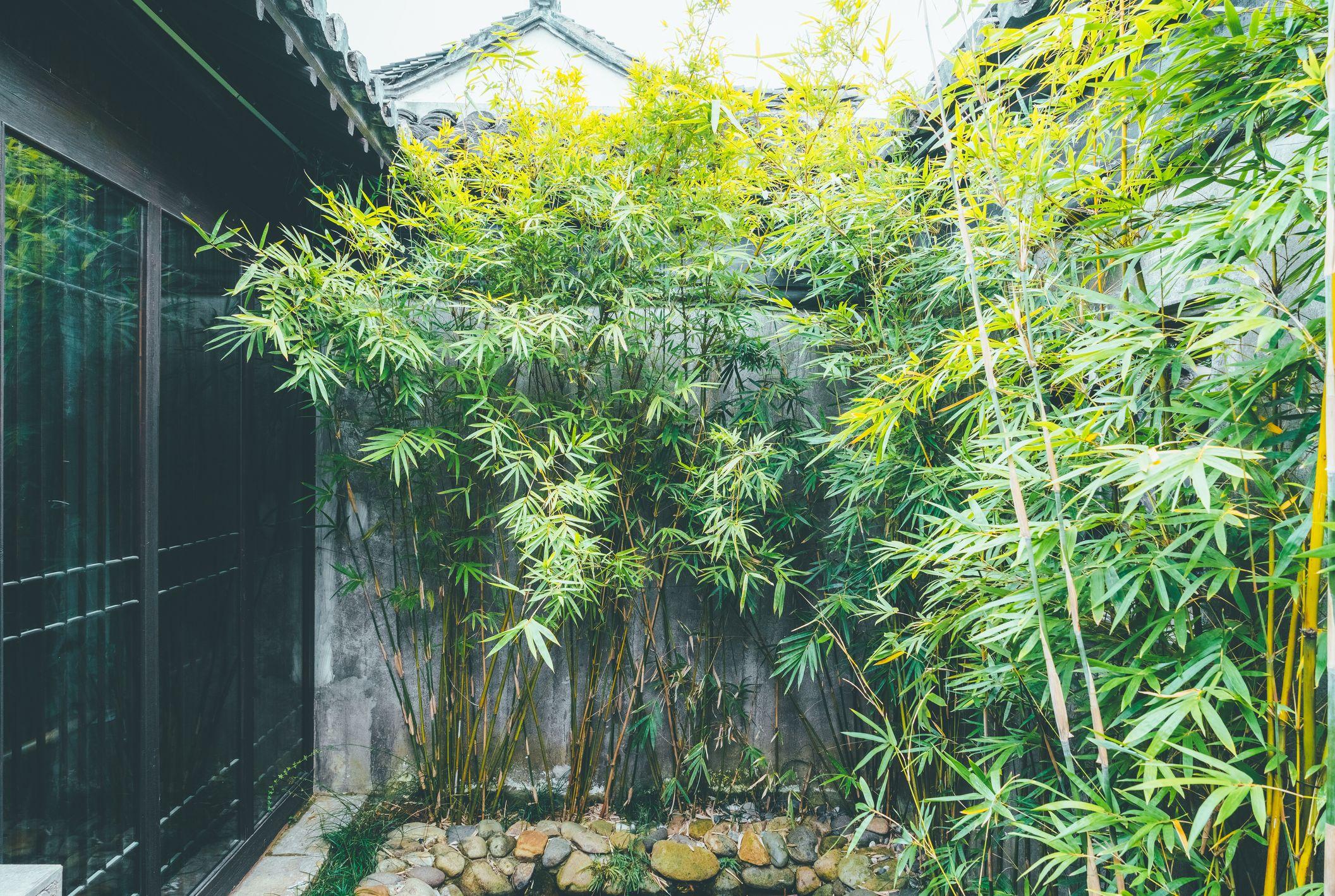 Beware Of Invasive Bamboo Taking Over Gardens Experts Warn