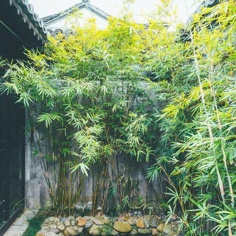 Beware of invasive bamboo taking over British gardens