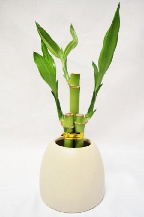 bamboo in a white pot
