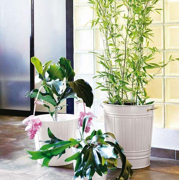 bambú, una planta muy resistente