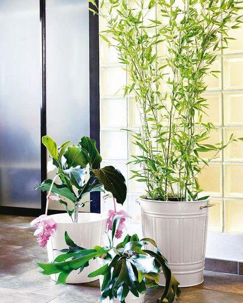 bambú, una planta de interior muy resistente