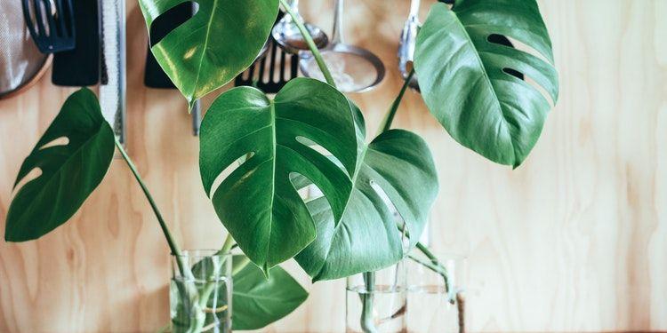 spotgoedkope-bananenplant-lidl-is-terug