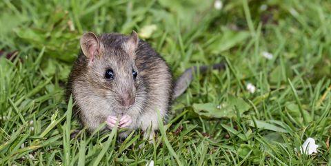 Muis in het gras