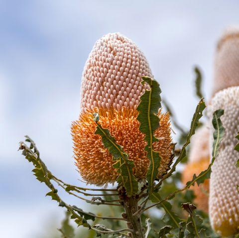 banksia flower, western australia, australia
