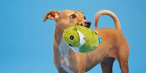Dog, Canidae, Dog breed, Tennis ball, Snout, Carnivore, Ball, Dog toy, Companion dog, Fawn,