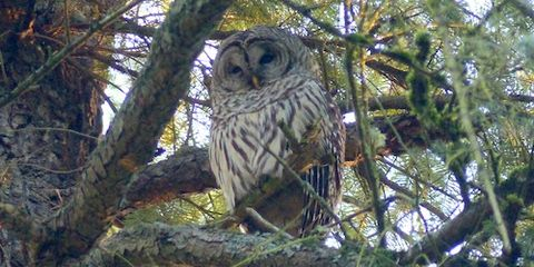 Barred Owl Attacking Salem Runners