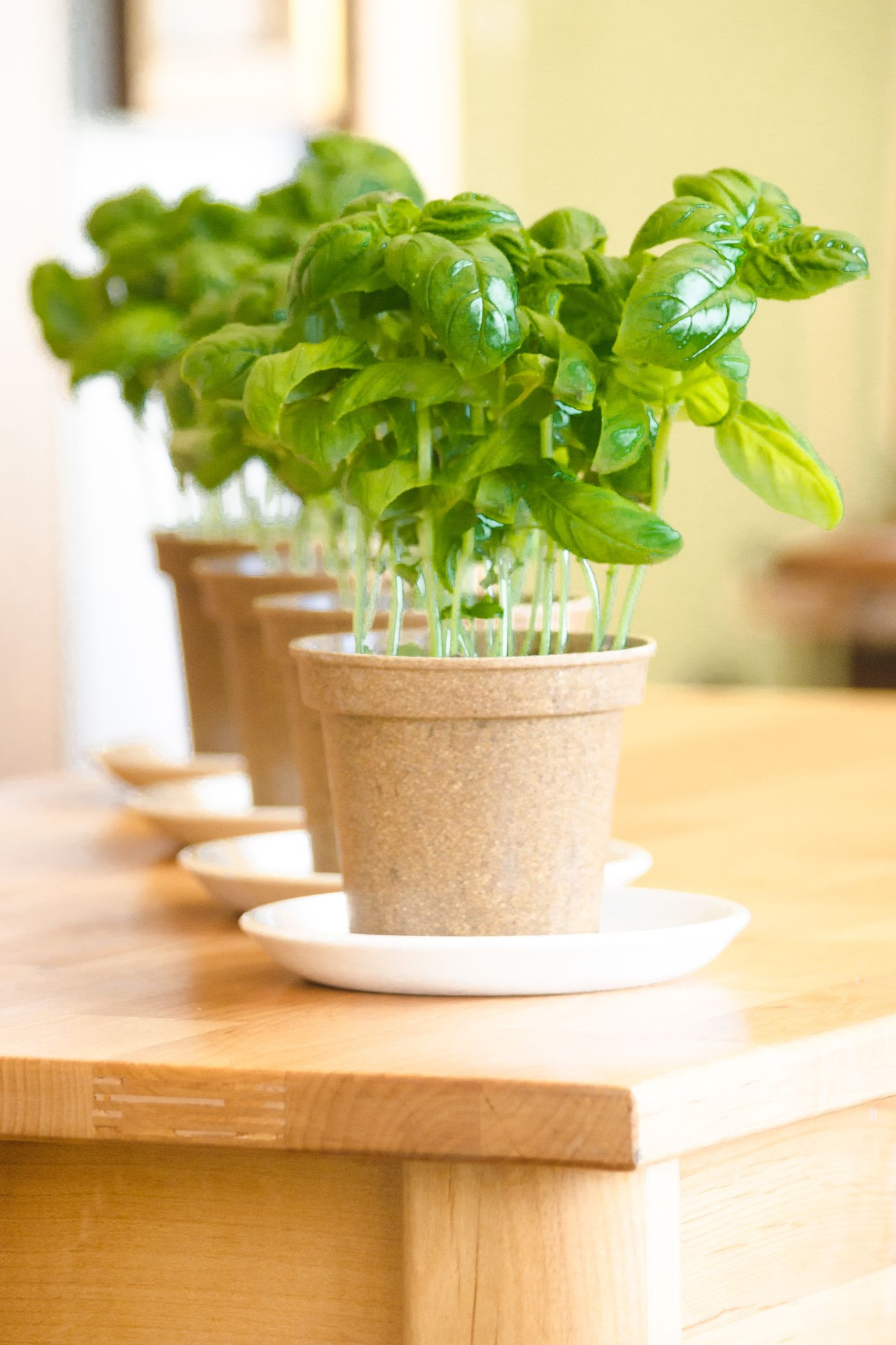 basil - potted plant