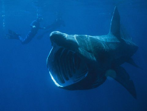 Fish, Underwater, Marine biology, Fish, Lamniformes, Shark, Lamnidae, Great white shark, Fin, Cartilaginous fish,