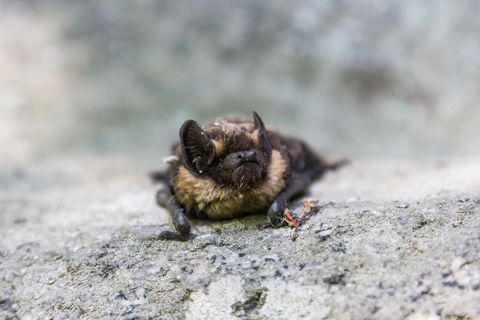 bat accidentally flew by day on the rocks seven brothers in the Sverdlovsk region